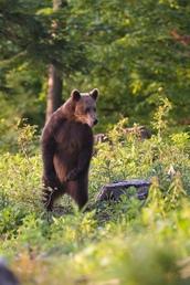 Medvedia zvedavosť