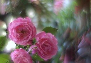 Rúžovýsen