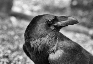 Havran čierny čiernobielo
