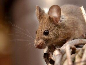 Myška modelka