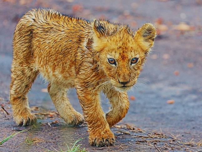 Zmoklý lvíče