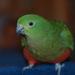 papagáj kráľovský