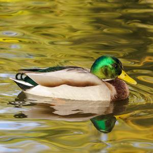 Pláva kačka po jazere