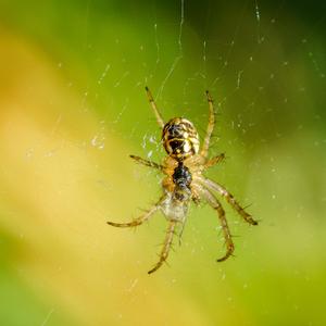Pavúčik (2)