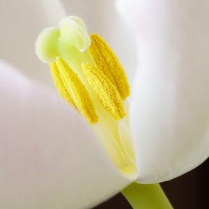 tulipánová 3