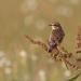Saxicola rubetra, ♀ (samica)