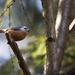 Brhlík lesný (Sitta europaea)