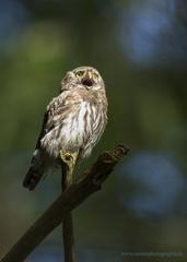 Kuvičok vrabčí