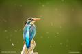 Rybárik riečny- samička