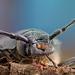 fuzáč hrubý (Prionus coriarius)
