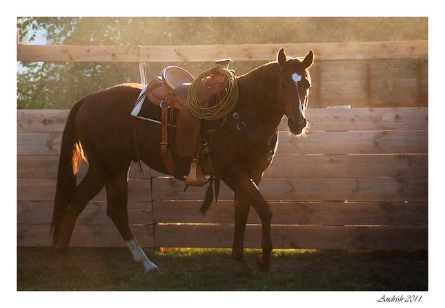 westernova quarter horse.