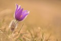 Jarný samotår