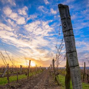 Štek vinohradský