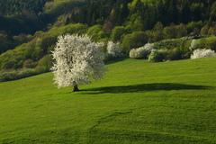 Čerešňa jarná