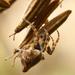 pavuk na semienku