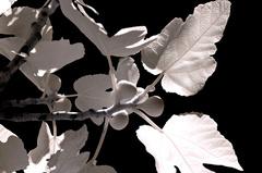 figovník