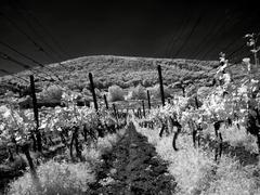 Májová vinica