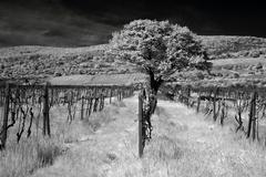 Strom vo vinici