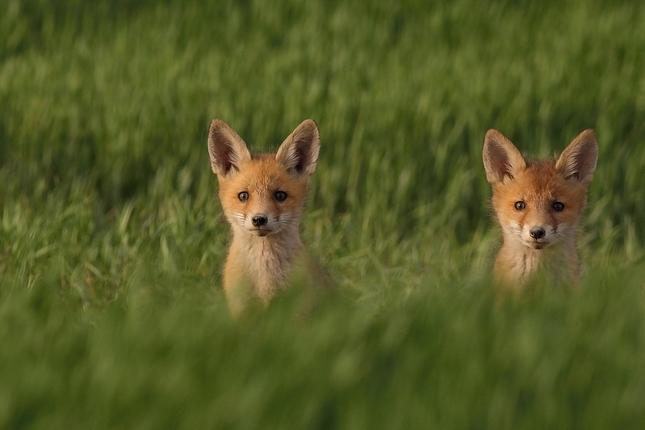 Líšky