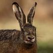 Portrét  zajaca