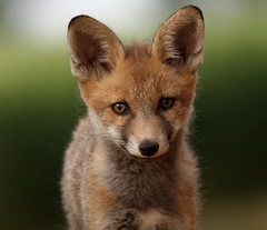 Portrét líšky