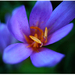 Kvet zo Súľova