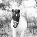 little horsie.