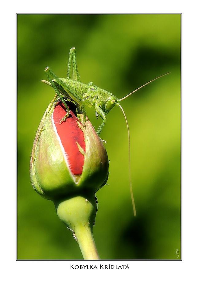 kobylka krídlatá