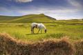 Konik v Kerry Irsko