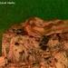 Dvojhlavý had