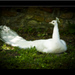 biely páv II