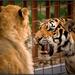 lev a tigrica