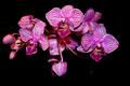 orchideika