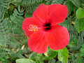 Hibiscus, Rosa sinensis Ibištek
