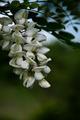 agátový kvet