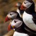 Puffin Family