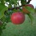 červené jablčko