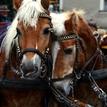 Salzburgské koníky
