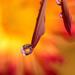 kvapka  s kvetinkou