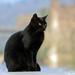 čierna mačka prináša šťastie ?