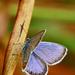 Modráčik obyčajný ♂.