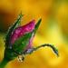 Uplakana ruža