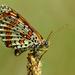 hnedáčik divozelový