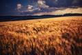 Poľný vietor
