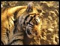 Tigrí odpočinok