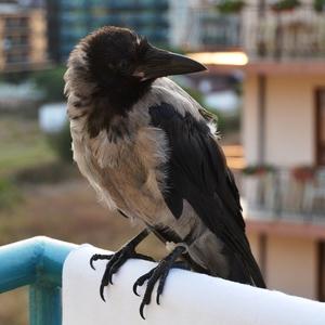 Vrana.