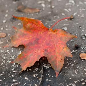 Jesenná gýčofka