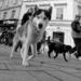 psí pochod