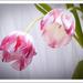 tulip.three