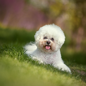 Beauty Bichon Frise